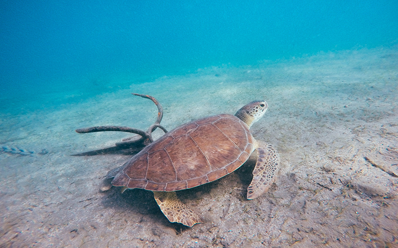 Highest number of all time for Caretta Caretta Seaturtles on Patara Beach